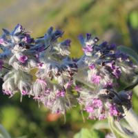 buddleia nivea seeds