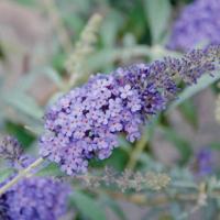 butterfly bush sky blue seeds