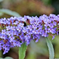 sky blue butterfly bush seeds