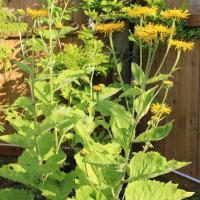 heartleaf oxeye daisy seeds