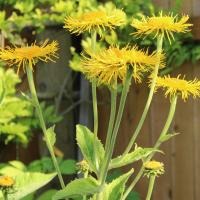 yellow oxeye seeds