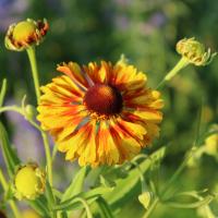 helenium autumnale sahins early flowerer seeds