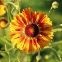 common sneezeweed sahins early flowerer seeds