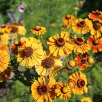 helens flower seeds
