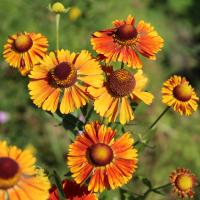 Dogtooth Daisy seeds