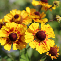 Sahins early flowerer helenium seeds