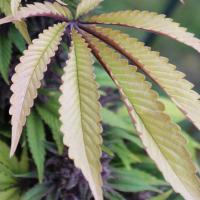 cannabis leaf colors annaunki genetics