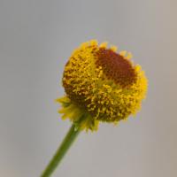 rosilla seeds